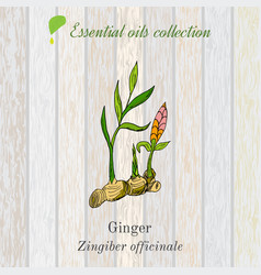 Pure essential oil collection ginger wooden vector