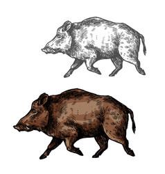 boar aper sketch wild animal vector image vector image