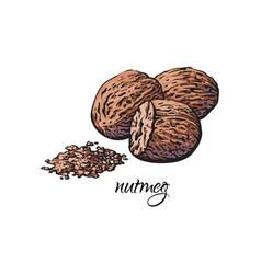 Whole and ground fragrant nutmeg with caption vector