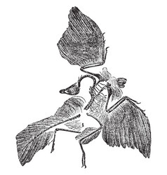 Archaeopteryx fossil vintage vector