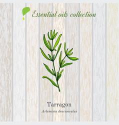 Tarragon essential oil label aromatic plant vector