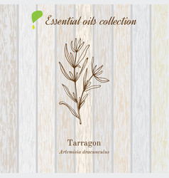 Tarragon essential oil label aromatic plant vector