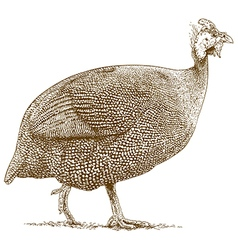 Engraving guineafowl vector
