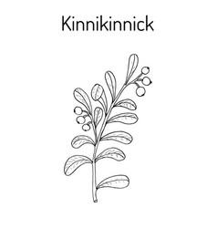 Kinnikinnick arctostaphylos uva-ursi or vector