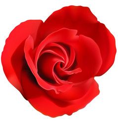 red rose flower isolated on a white vector image vector image