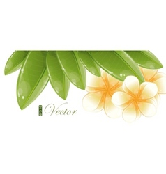 White frangipani flowers vector