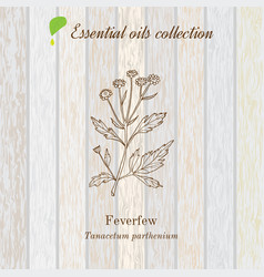 Pure essential oil collection feverfew wooden vector