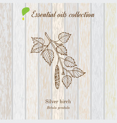 Birch essential oil label aromatic plant vector