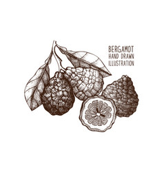 Ink hand drawn bergamot fruit sketch vector