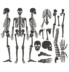 Human bones skeleton dark black silhouette vector