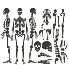 Human bones skeleton dark black silhouette vector image