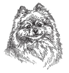 Small pomeranian hand drawing vector