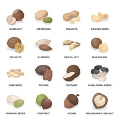 hazelnuts peanuts cashews pistachios and other vector image