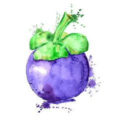 Watercolor of isolated mangosteen fruit vector