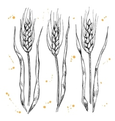 hand drawn wheat ears set vector image