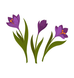 Three violet crocus blooming flowers isolated on vector