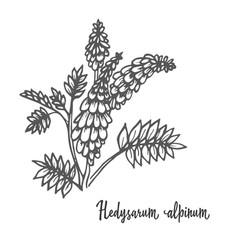 Hedysarum alpinum medicinal herb vector