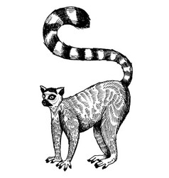 ring tailed lemur engraving vector image