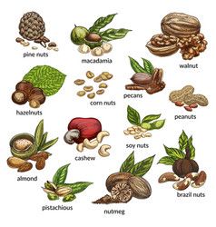 set of isolated different nut types vector image