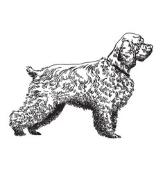 Spaniel hand drawing vector