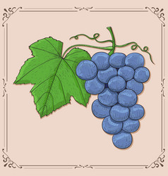 blue grapes colored hand drawn sketch on beige vector image