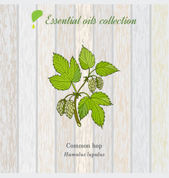 Pure essential oil collection hop wooden texture vector