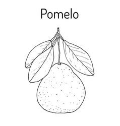 Pomelo citrus maxima or pamplemousse jabong vector