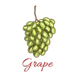 Grape bunch of green white grapes Sketch icon vector image