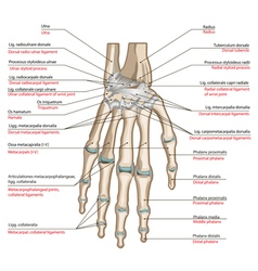 Ligaments of the hand vector image