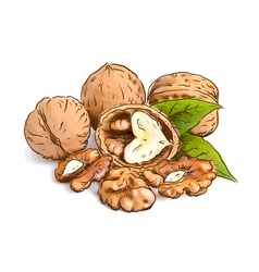 Walnut Watercolor with sketch imitation vector image vector image