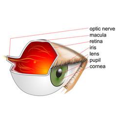 Anatomy of eye vector