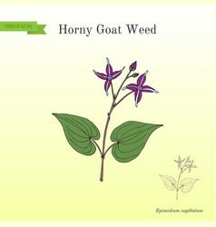 Horny goat weed epimedium sagittatum medicinal vector