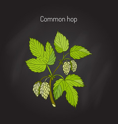 common hop branch vector image vector image
