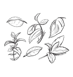 Mint medicine herb peppermint leaves hand drawn vector image