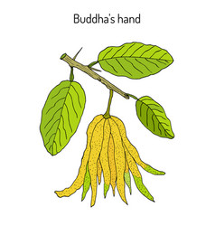 fingered citron citrus medica or buddha s hand vector image
