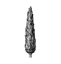 cypress vector image vector image