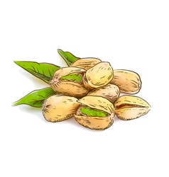Pistachios Watercolor imitation vector image