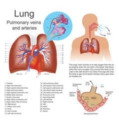 Lung pulmonary veins and arteries vector