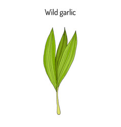 Wild leek bear garlic allium ursinum or ramsons vector