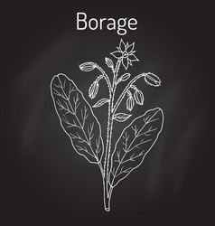 Borage borago officinalis  or starflower vector