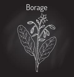 Borage borago officinalis or starflower vector