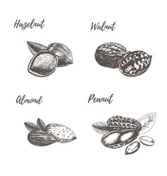 Collection of hand drawn nuts vector