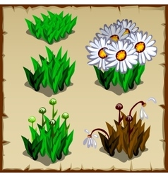 Stages of growth daisies planting and withering vector