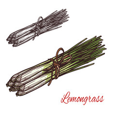 Lemongrass plant sketch of fresh culinary herb vector