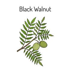eastern black walnut juglans nigra vector image vector image