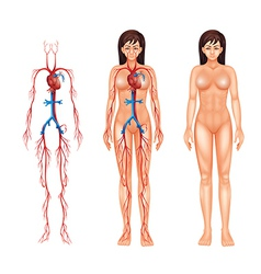 Female circulatory system vector image vector image