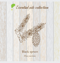 Black spruce essential oil label aromatic plant vector