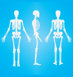 human skeleton silhouette white vector image vector image