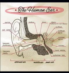 Human ear sepia vector