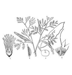 Gum arabic tree vintage vector